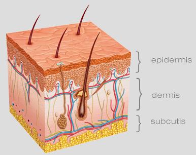 anatomy | Lelexo Skincare